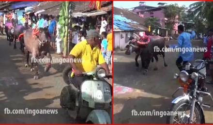 Bull festival Goa