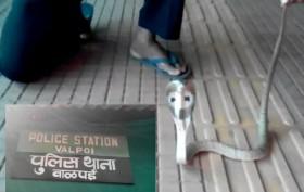 After CM Parrikar, Now King Cobra Gives Surprise Visit to Valpoi Police Station