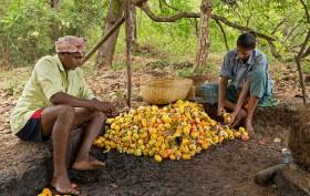 Cashew-Apples-for-making-feni